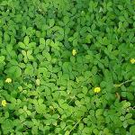 พืชคลุมดินปลูกแทนหญ้า